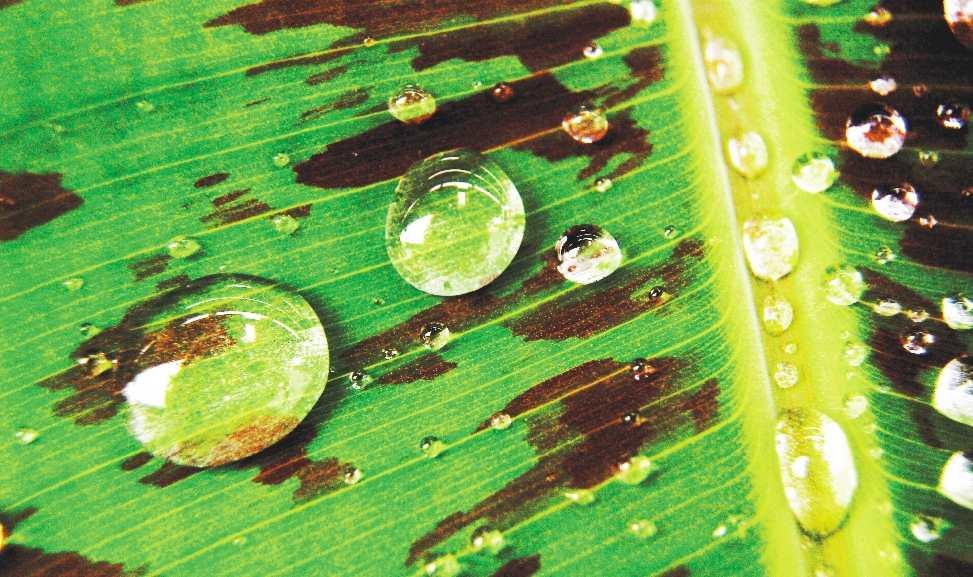 Wasserperlen auf dem Bananenblatt mit automatischer Tonbalance bearbeitet